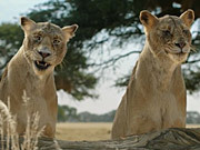 צפו בסרטון מצויר בחינם Fiber One Commercial: Lionesses