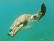 Watch free video Tenerife - Snorkel - Turtle