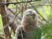 Watch free video African Wood Owl