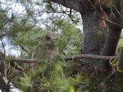Watch free video Great Horned Owl Nest: Yawning & Bobbing