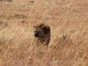Mira dibujos animados gratis Kenya Hyena
