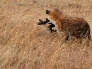 Watch free video Kenya Hyena