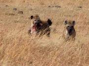Watch free video Kenya Hyena
