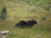 Watch free video Grizzly Bear