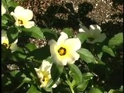 Watch free video Time Lapse Blooming Flowers