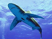 Watch free video Shooting Sharks: Oceanic Whitetips