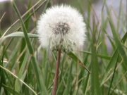 Watch free video Dandelion Gone To Seed