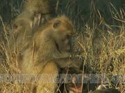 Baboon and Her Infant