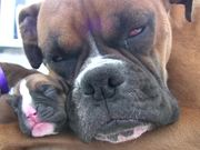 Watch free video Boxer's Two-Day-Old Puppies in HD