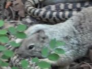 Watch free video Squirrel vs. Big Snake Battle!