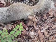 Watch free video Squirrel vs. Big Snake Battle!