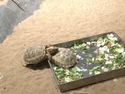 Watch free video Turtles Mating
