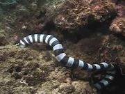 Watch free video Sea Snake vs Moray Eel
