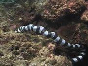 Mira dibujos animados gratis Sea Snake vs Moray Eel