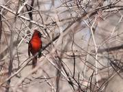 Watch free video Cardinal's Song 1