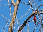Watch free video Cardinal's Song 2