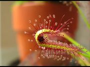 Watch free video Carnivorous Plant vs Fruit Fly