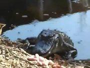 無料アニメのCat vs. Alligatorを見る