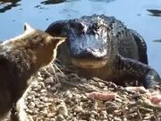 Watch free video Cat vs. Alligator