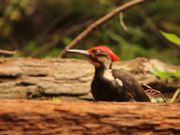 Watch free video Bird Jumping on Log