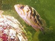 Mira el vídeo gratis de Halfmoon Bay 1st dive with GH3