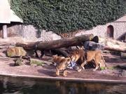 Watch free video Lion Catches and Eats a Bird in a Zoo