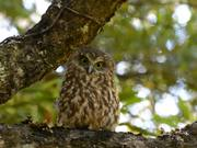 Watch free video Morepork