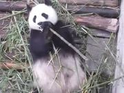 Watch free video Panda Eating