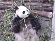 Watch free video Panda Eating