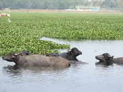 Watch free cartoon Indian Buffaloes bathing and swimming in a lake
